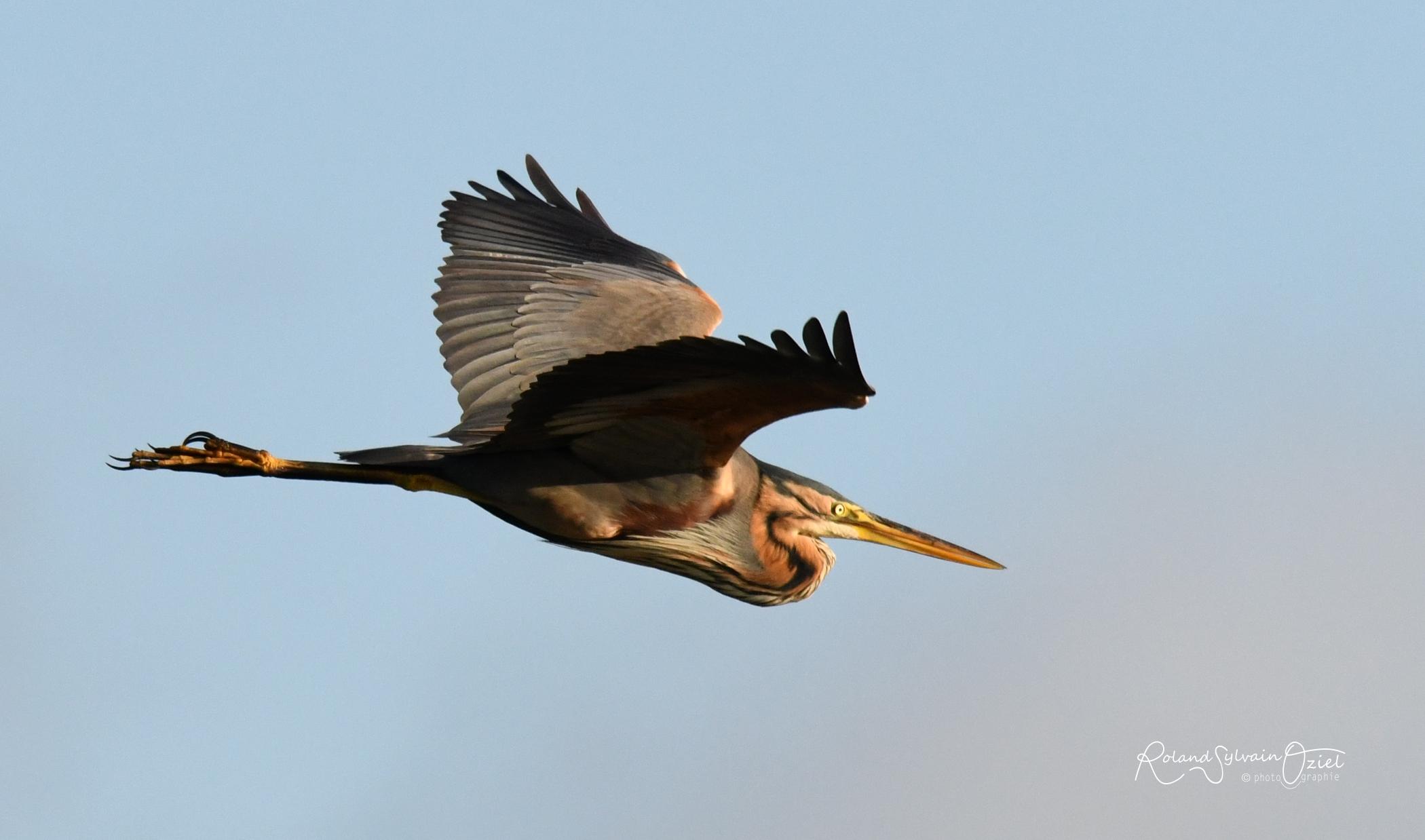 Héron pourpré les oiseaux du marais poitevin à voir en séjournant en camping