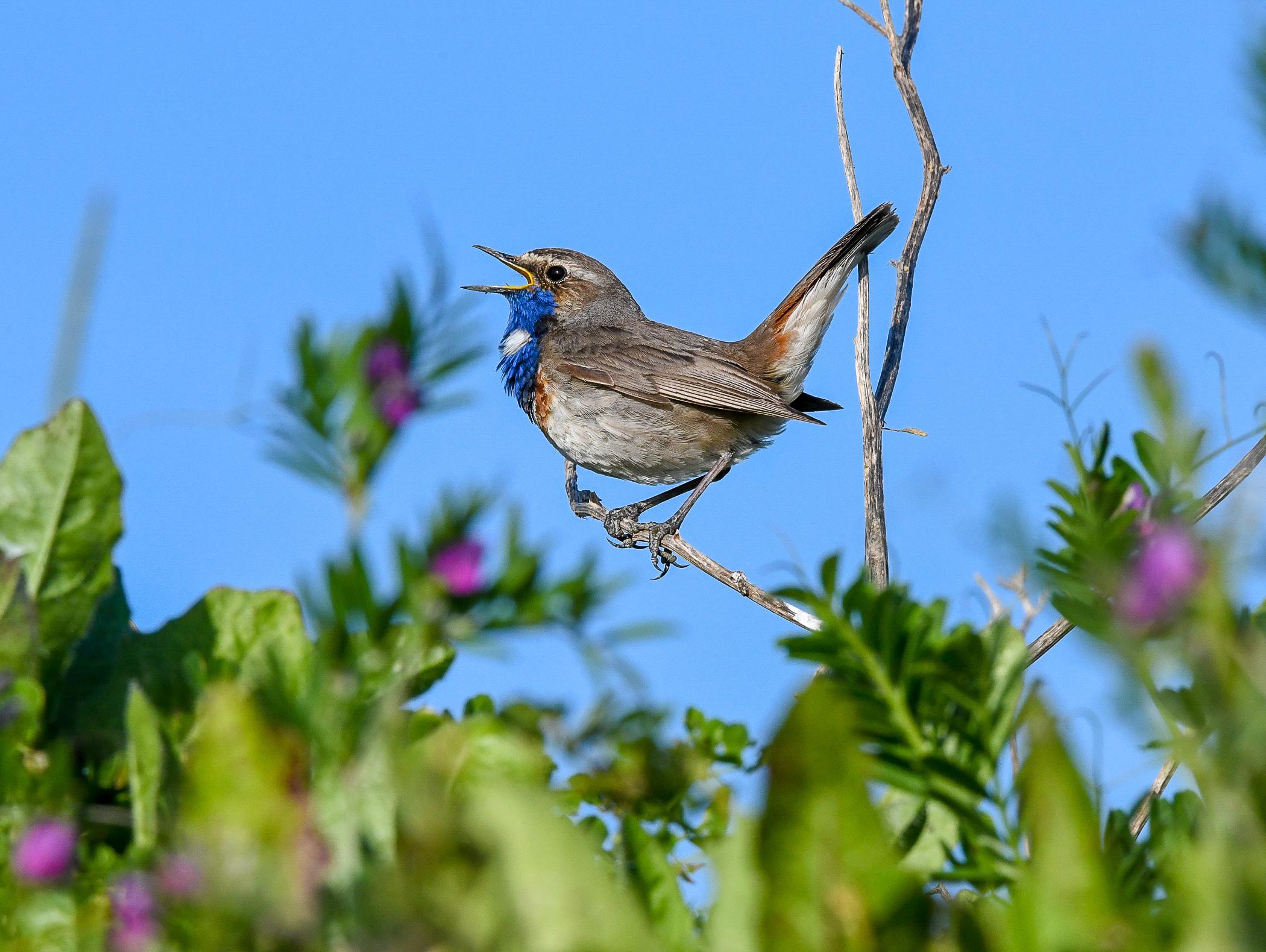 La gorge bleue emblème des zones littorales de la région du marais poitevin