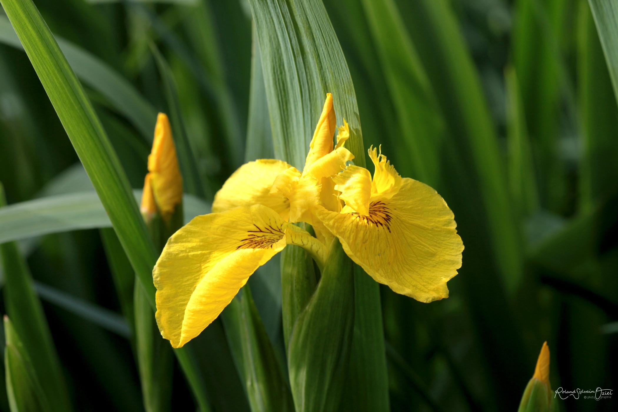 iris jaune typique des marais bord de la venise verte dans le marais pooitevin