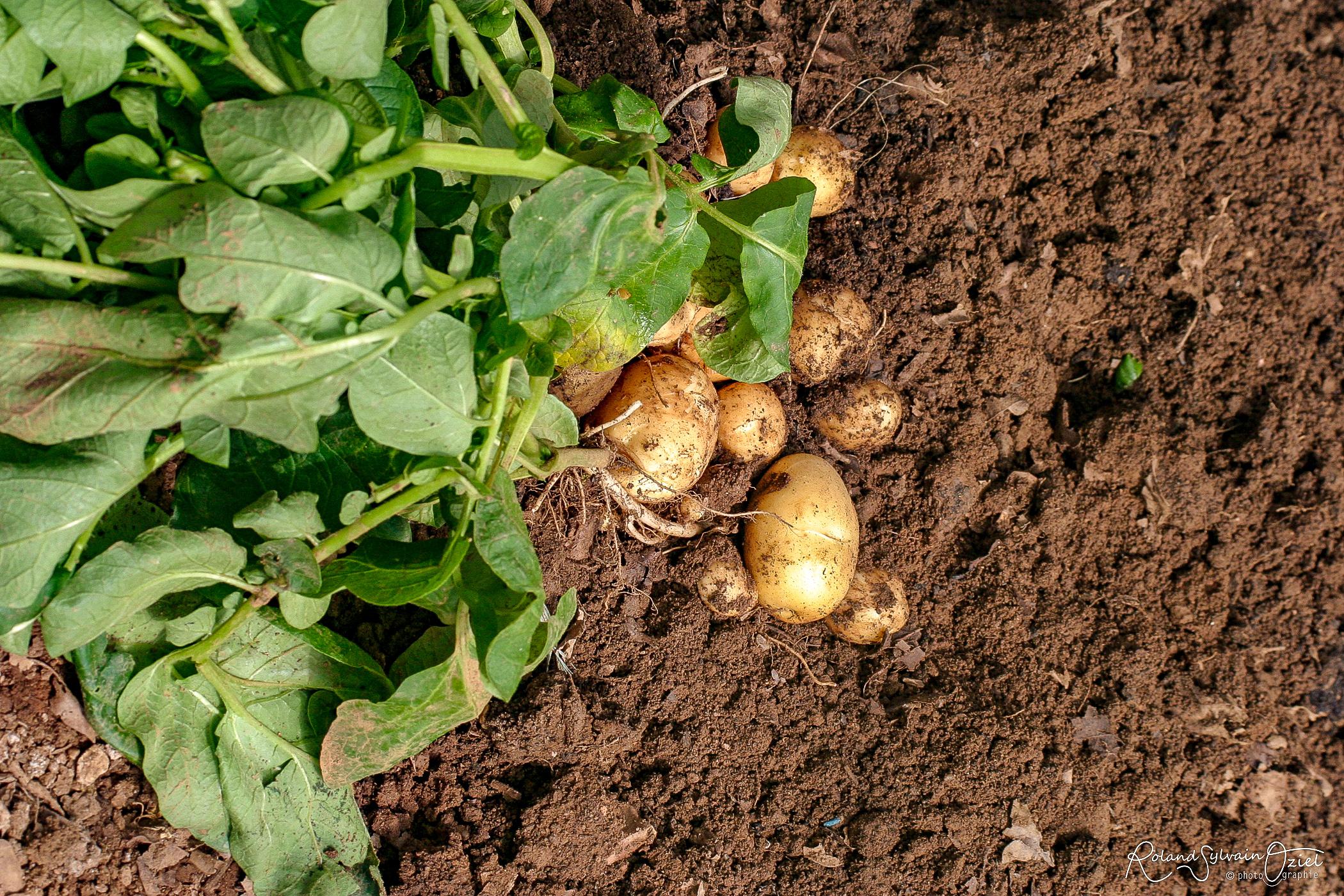 Bonnotte la pomme de terre de Noirmoutier