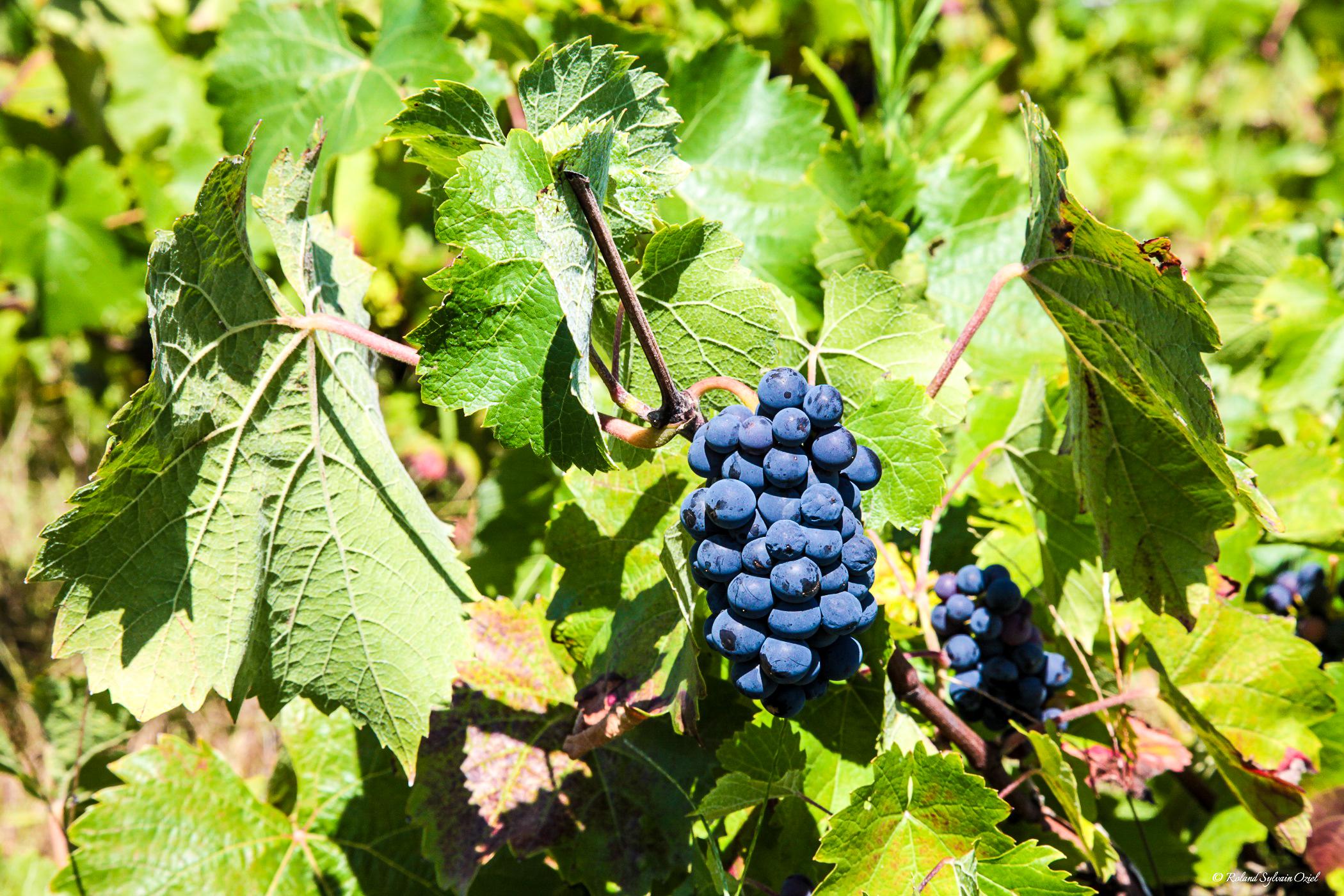 Vignobles vendéens